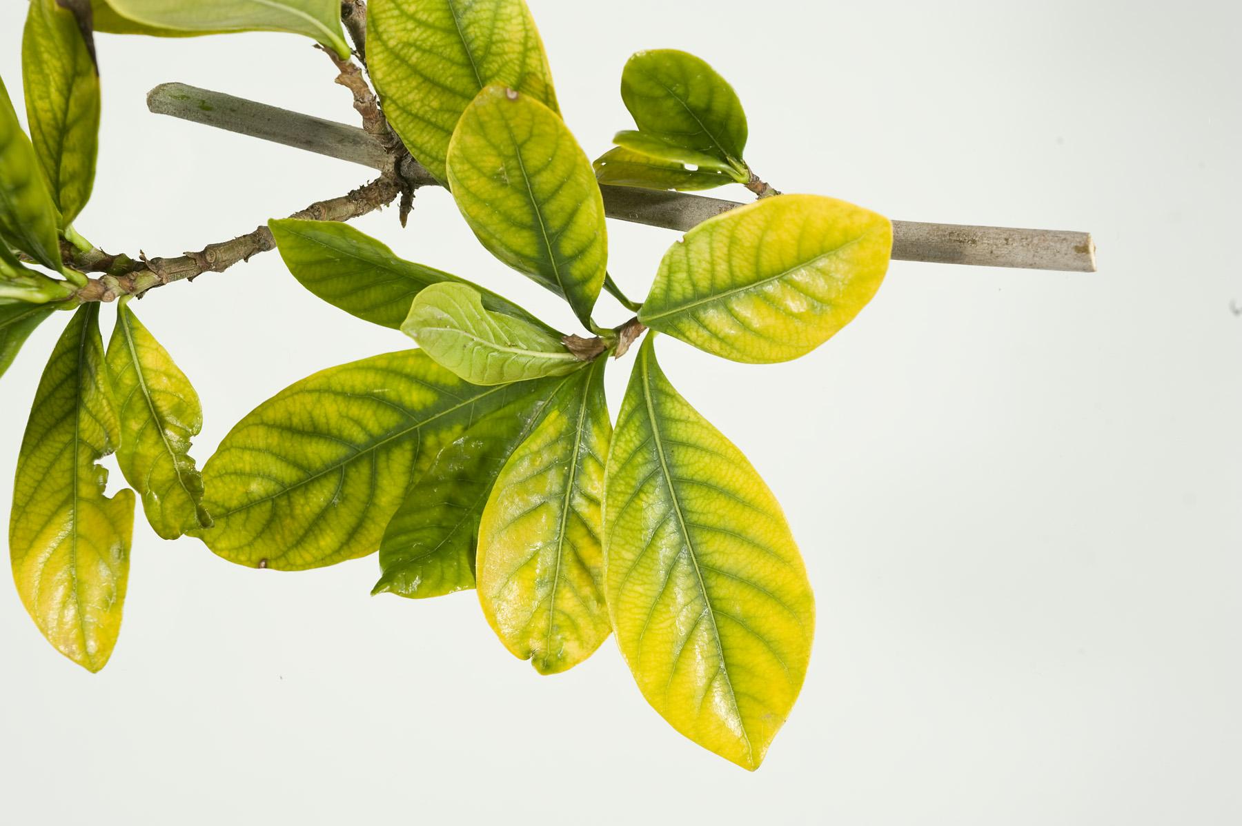 AgroPublic | Fe Gardenia