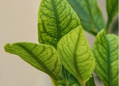 AgroPublic | Fe lemon
