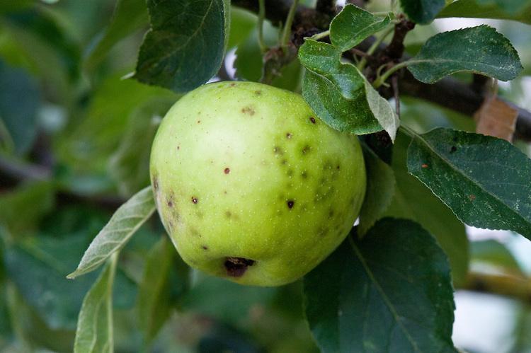 AgroPublic | ca apple
